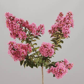 Lagerstroemia Pink Crepemyrtle